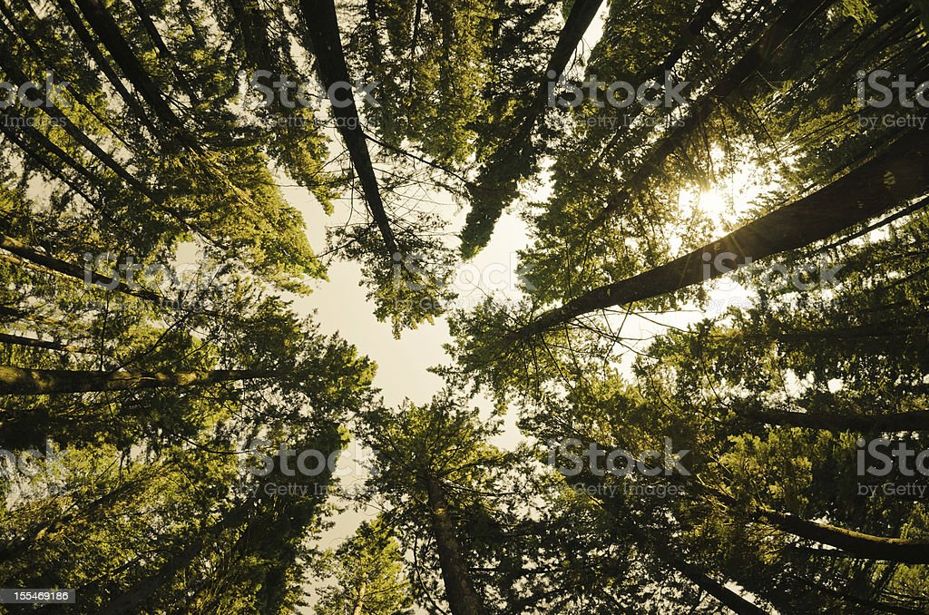 Surrounded by Tall Pine Trees, low angle shot stock photo
