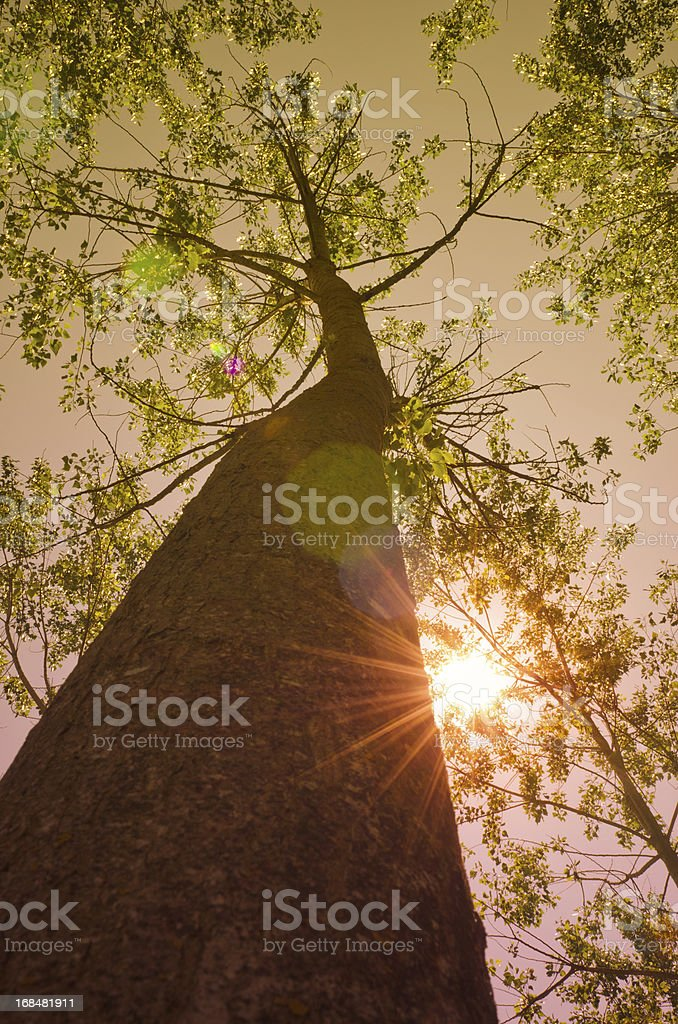 Surrounded by Tall Trees lens flare - Spring season royalty-free stock photo