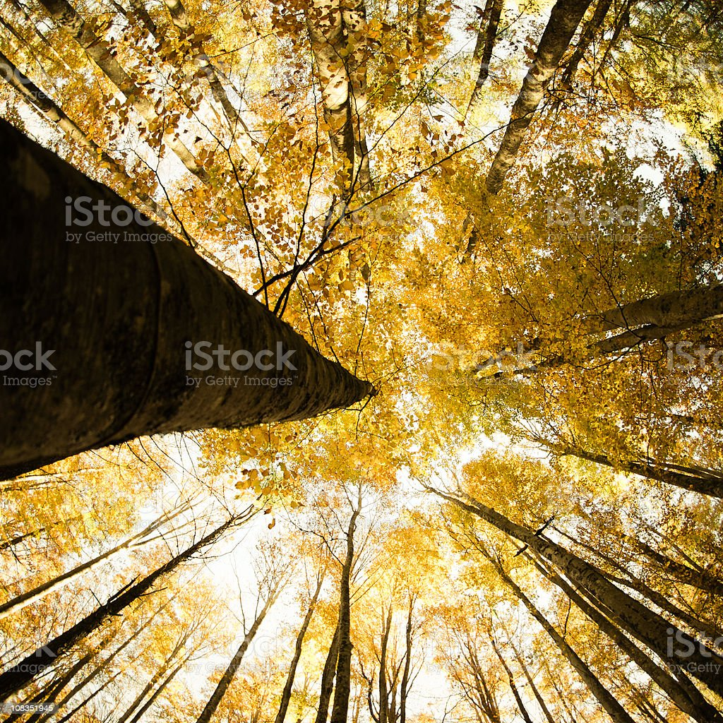 Surrounded by Tall Trees, low angle shot - Autumn royalty-free stock photo