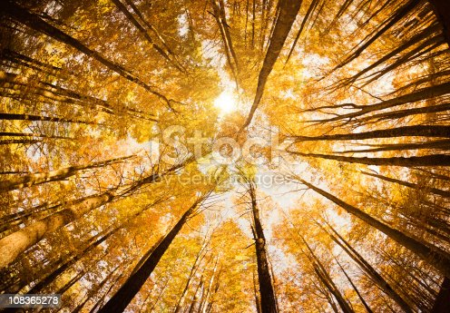 istock Surrounded by Tall Trees, low angle shot - Autumn season 108365278