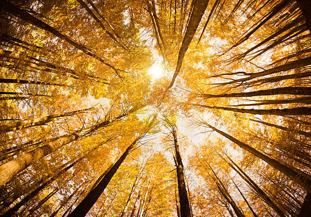 surrounded by tall trees, low angle shot - autumn season - directly below stock pictures, royalty-free photos & images