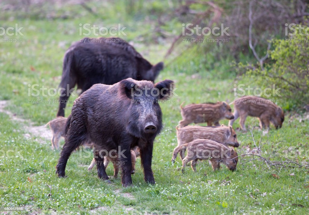 Sus Scrofa Ferus - Wild Boar stock photo