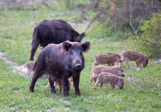 Sus Scrofa Ferus - Wild Boar Group of wild boars (sus scrofa ferus) with piglets on meadow in forest. Wildlife in natural habitat wild boar stock pictures, royalty-free photos & images