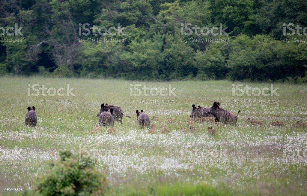 Sus Scrofa Ferus - Wild Boar royalty-free stock photo