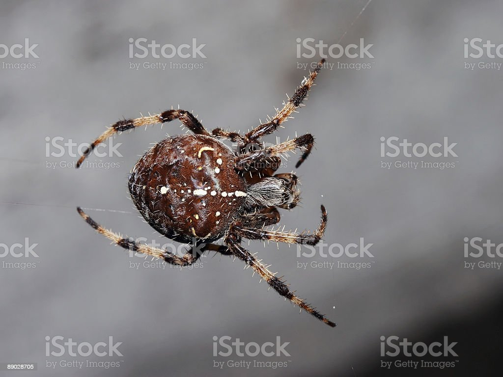 Suspended orb spider 1 royalty-free stock photo