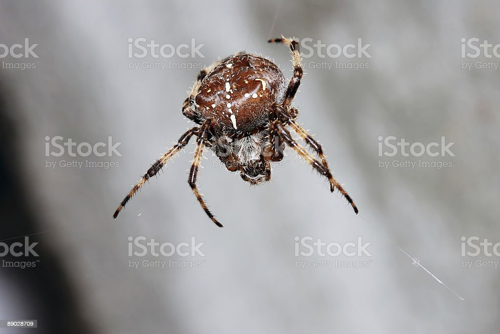 Suspended orb spider 2 royalty-free stock photo