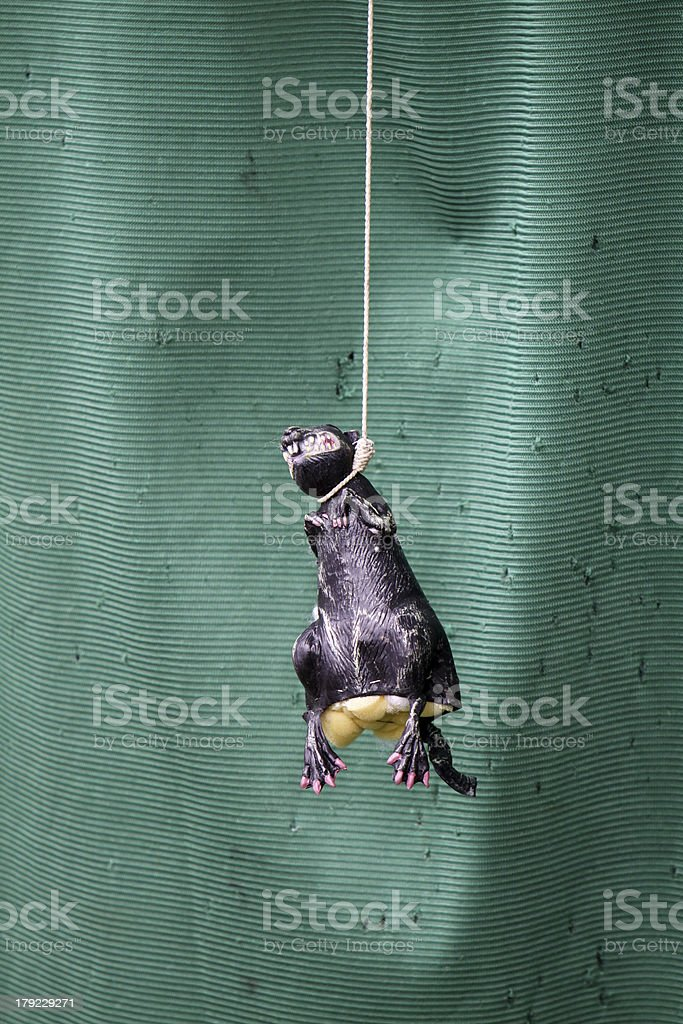Suspended toy rat stock photo