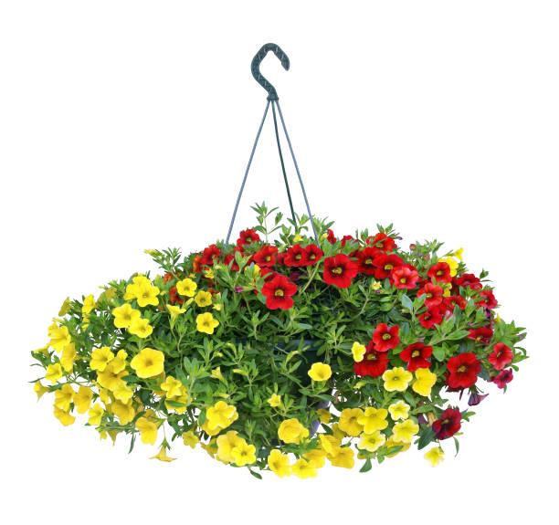 suspension of petunias. white background. - вешать стоковые фото и изображения
