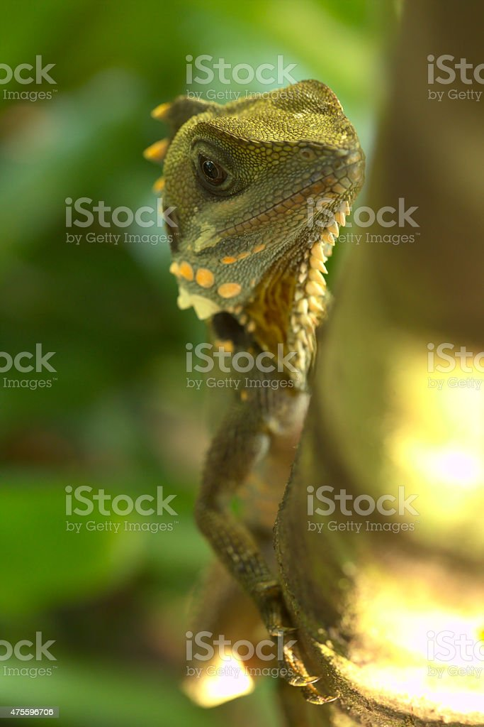 Suspicious Boyd's Forest Dragon stock photo