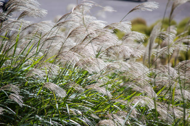 susuki(japanese pampas grass,miscanthus sinensis) blowing in the breeze - miscanthus sinensis foto e immagini stock