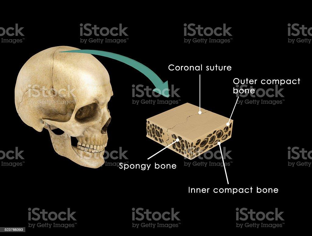 Fotografía de Sutura Entre Los Huesos Del Cráneo y más banco de ...