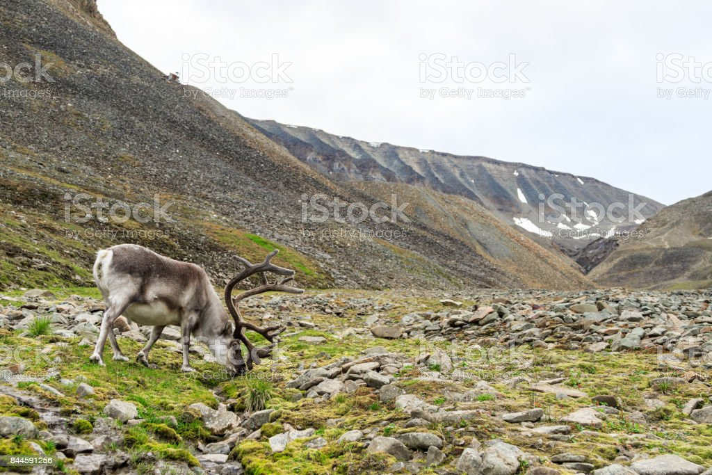 Svalbard male reindeer with big antlers grazing in Longyeardalen in summer, Svalbard stock photo