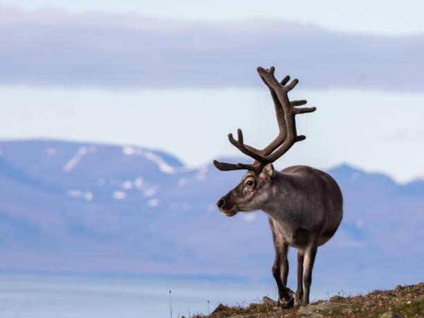 Svalbard male reindeer with big antlers walking in Bjorndalen in summer, Svalbard stock photo