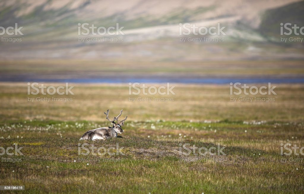 Svalbard reindeer lying on the tundra in summer at Svalbard stock photo