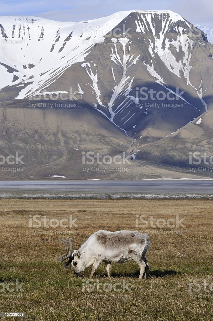 Svalbard reindeer stock photo