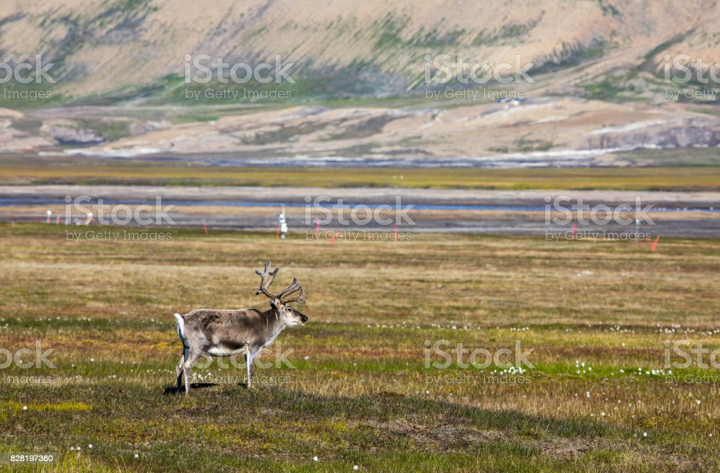 Svalbard reindeer standing on the tundra in summer at Svalbard stock photo
