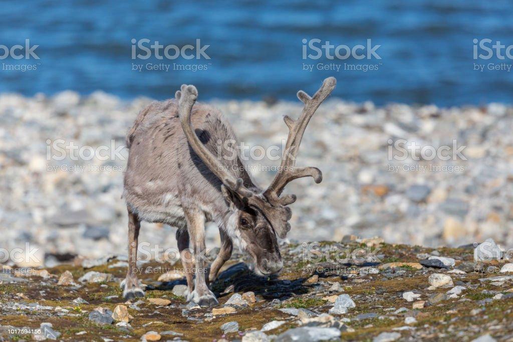 Svalbard-Rentiere (Rangifer Tarandus Platyrhynchus) mit großen Geweih Weiden – Foto