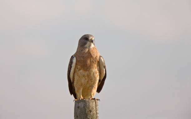 Swainson Hawk Prairie stock photo