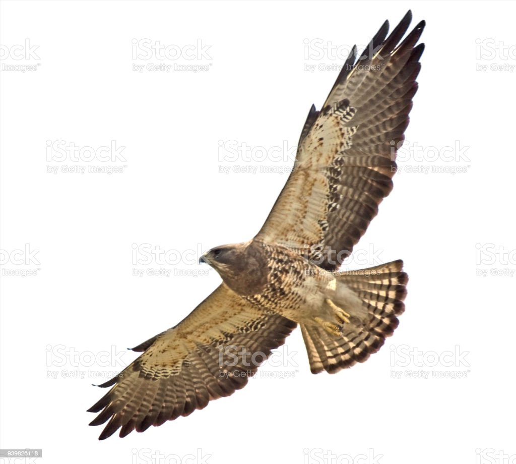Swainson's Hawk close-up and overhead   clipping path stock photo