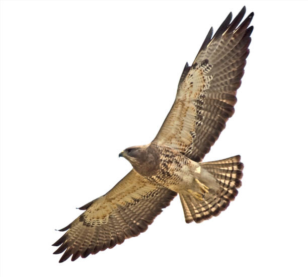 swainson's hawk close-up and overhead   clipping path - hawk bird stock photos and pictures