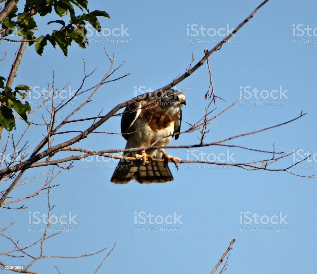 Swainson's Hawk Focus stock photo