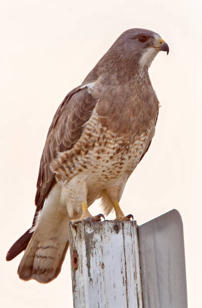 Swainsons Hawk Prairie stock photo
