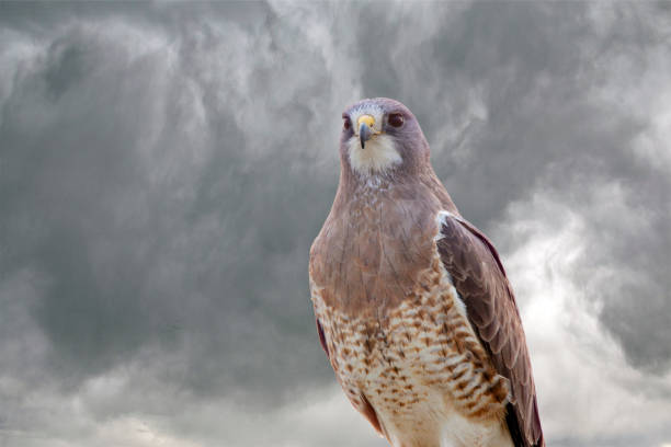 Swainsons Hawk Prairie stock photo