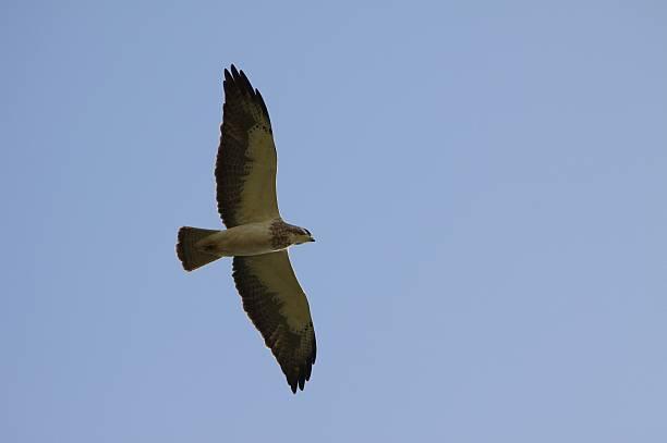 Swainson's Hawk soars over Texas Plain