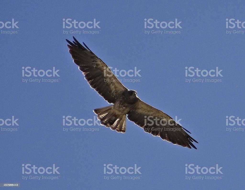 Swainson's Hawk Wingspan stock photo