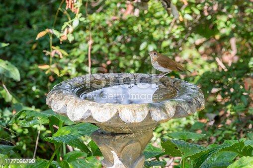 Swainson's Thrush Getting A Drink From Birdbath