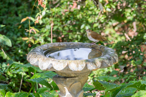 Swainson's Thrush Getting A Drink From Birdbath stock photo
