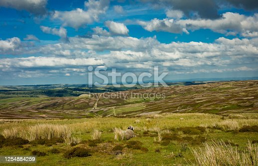 A ewe with a view.  A Swaledale ewe admiring the view across Grinton Grouse Moor near Reeth in North Yorkshire.  A colourful patchwork of colours in Springtime.  Horizontal.  Space for copy.