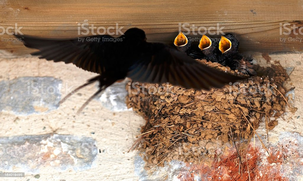 Swallow and baby birds in nest royalty-free stock photo