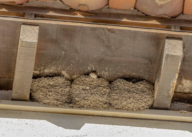 swallow and nests stock photo