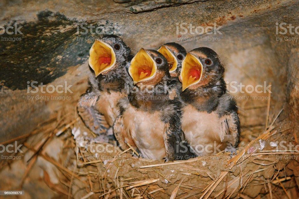 Birdlings de deglución con el pico abierto - foto de stock