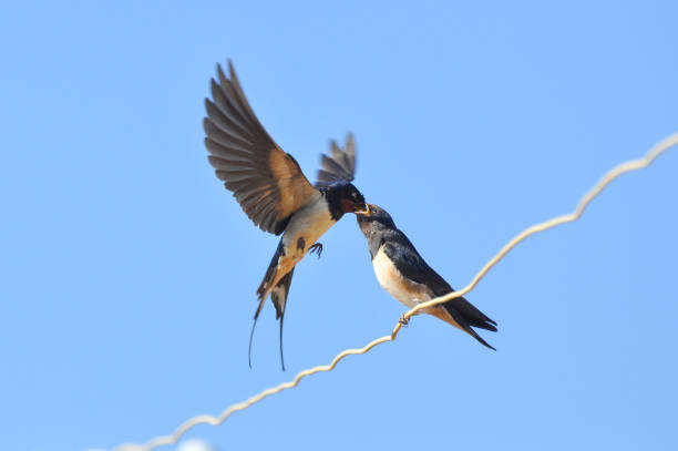 Swallow feeding her chicks on electric wire against blue sky picture id801114184?b=1&k=6&m=801114184&s=612x612&w=0&h= 5jdo6sfoseviove7cz5rhlrqenrmspwncvydyefuda=