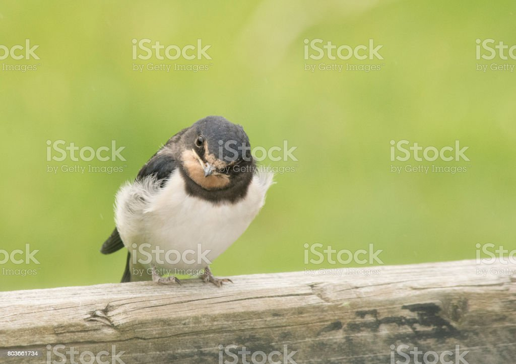 Swallow fledgling stock photo