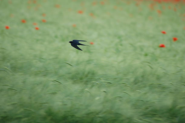 Swallow Flying Fast Over Field with Flowers stock photo