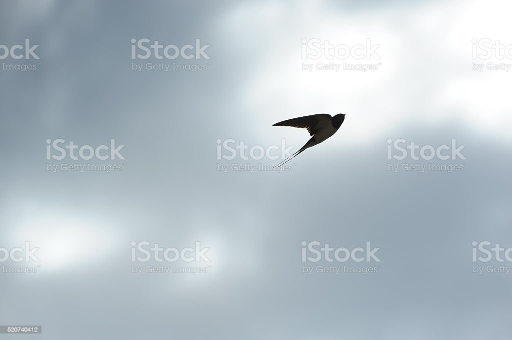 Swallow Flying in the Sky stock photo