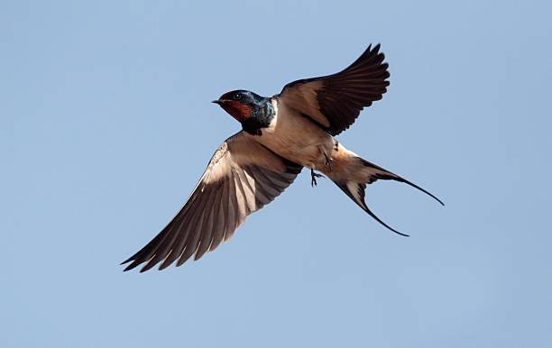 Swallow, Hirundo rustica stock photo