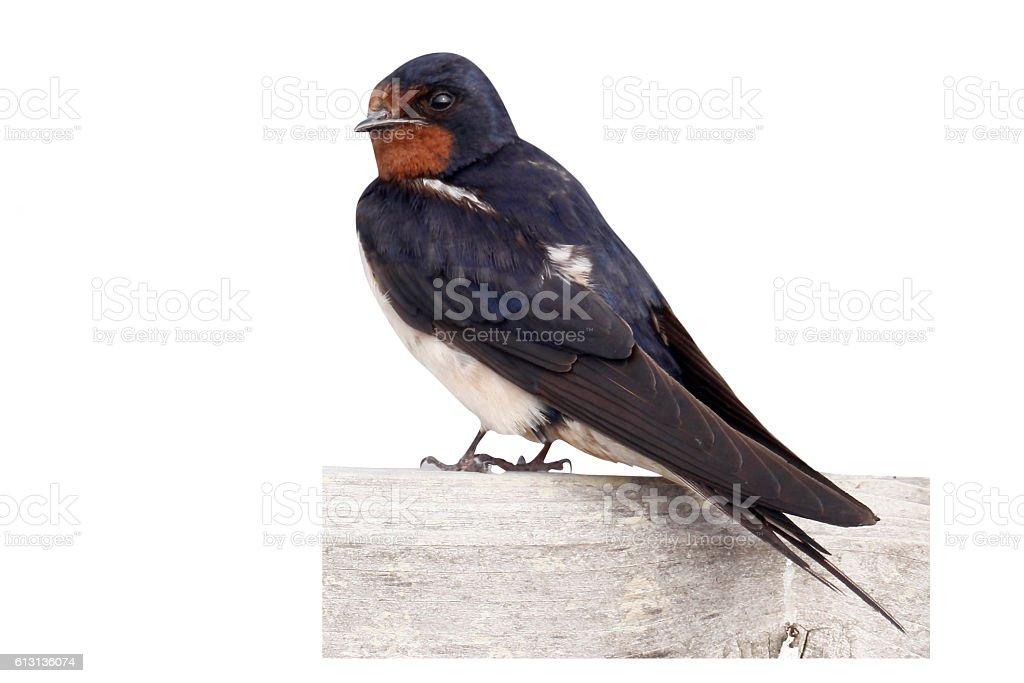 Swallow, Hirundo rustica, stock photo