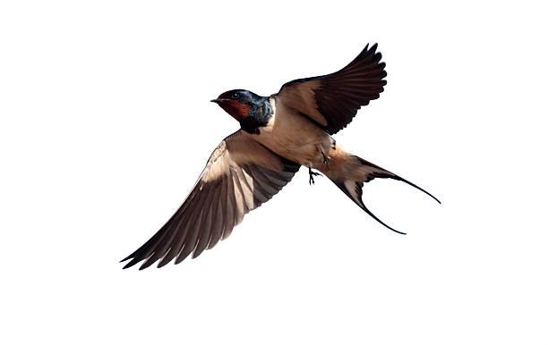 Swallow hirundo rustica picture id616856104?b=1&k=6&m=616856104&s=612x612&w=0&h=7fhhzdeddtafrlovqknfslrbeqgyy3wxdju0jsqjpbk=