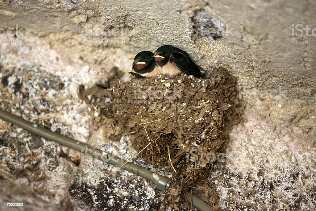 Swallow Nesting royalty-free stock photo