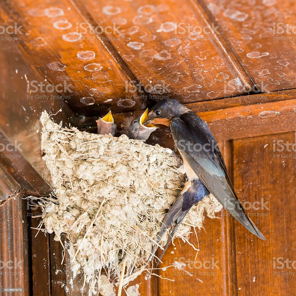 Swallow nestings at very old chalet - feeding stock photo