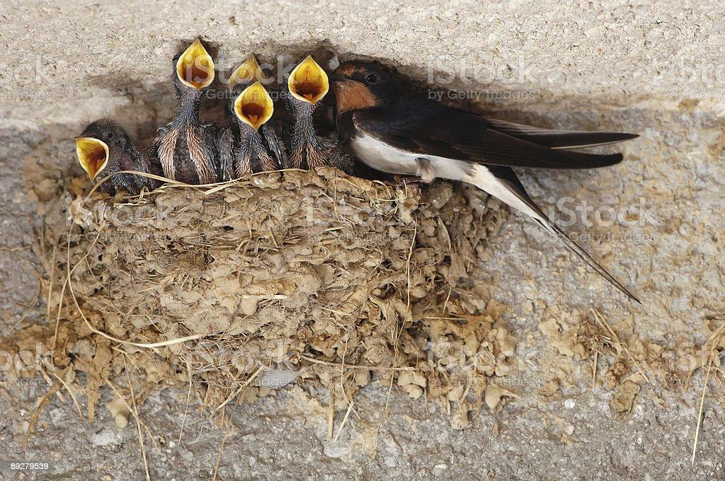 Swallow nestings stock photo