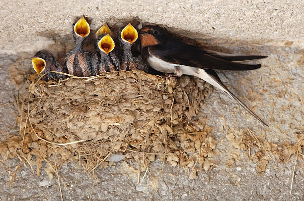 Swallow nestings stock photo