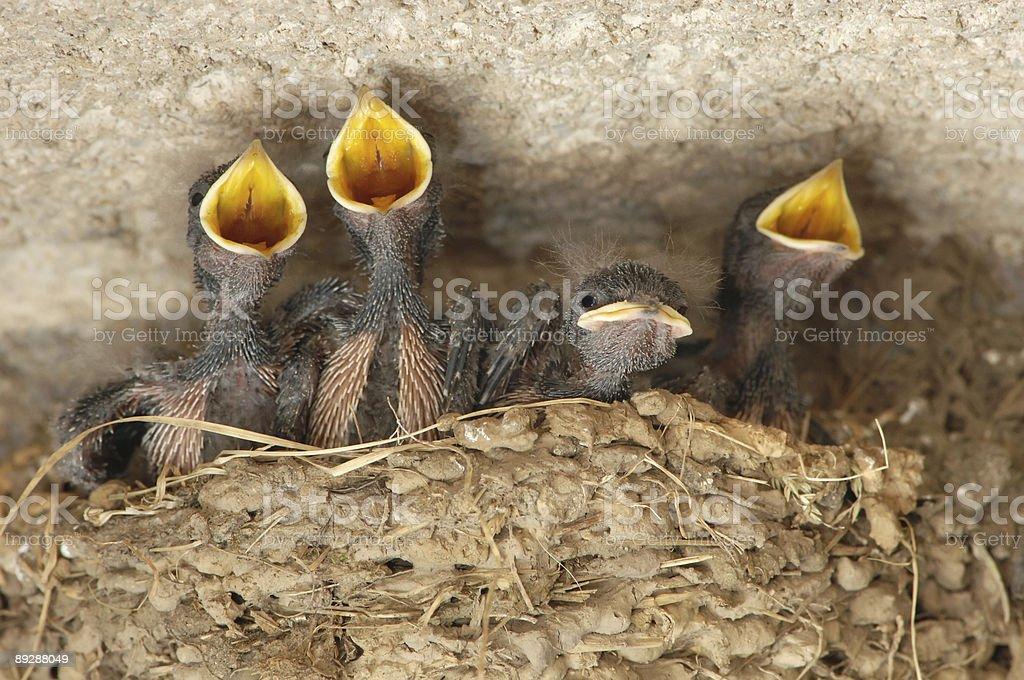 Swallow (Hirundo rustica) nestling stock photo