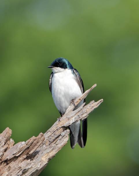Swallow stock photo