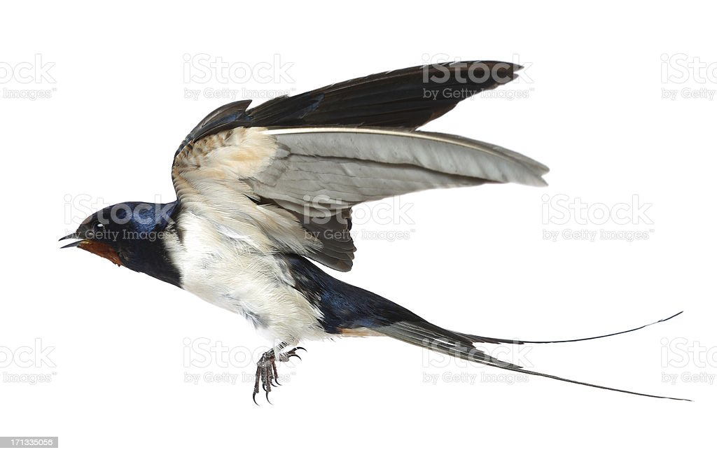 Swallow royalty-free stock photo