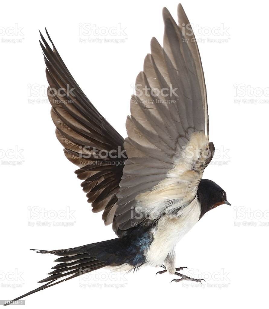 Swallow royalty-free stock photo
